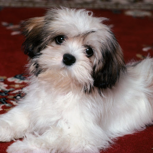 Wallpaper Anjing Cute Banget