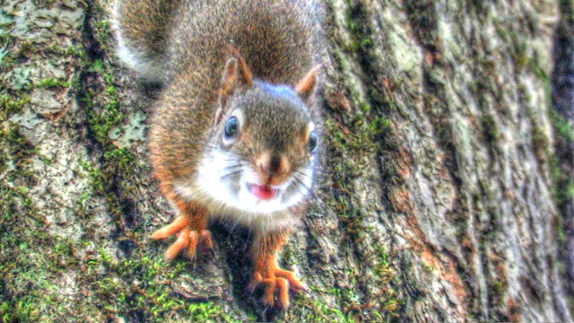 The World's Angriest Red Squirrel