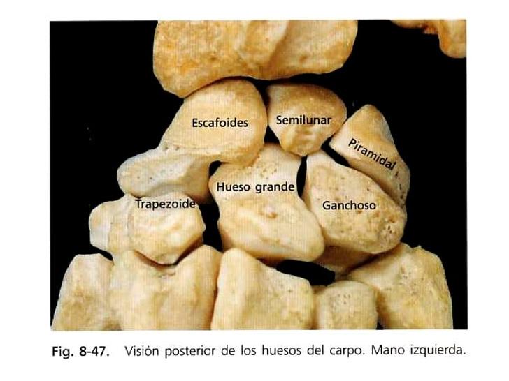 Anatomia trabajo colaborativo UD4: La mano: Muñeca, palma y dedos