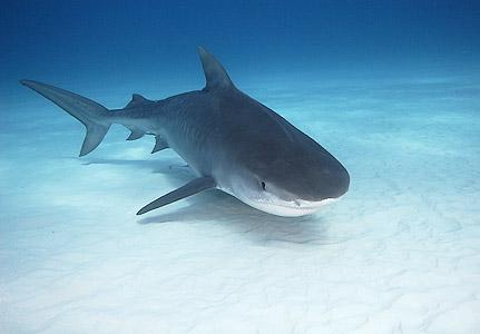 Tiger Shark Facts World Strange Facts