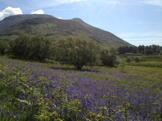 Bluebells on Mull
