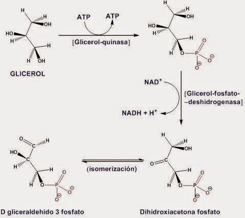 Oxidación del glicerol