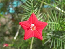 <strong>田舎暮らし格安物件</strong>に咲くルコウソウの花