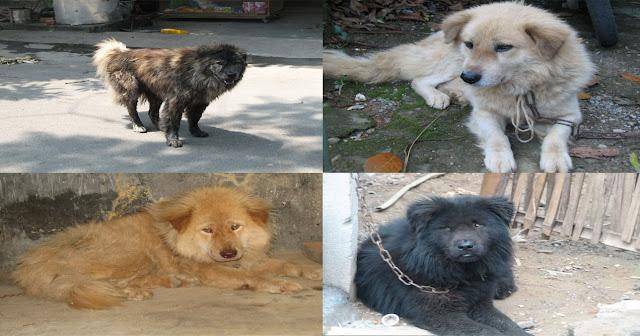 Chó Bắc Hà có các mầu lông khác nhau như màu đen, vàng, vện, xám hoặc đen-trắng, một số ít có màu hung đỏ.