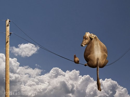 02-Cow-Slope-Chris-Bennett-Animal-Photographs-of-Surreal-Art-www-designstack-co