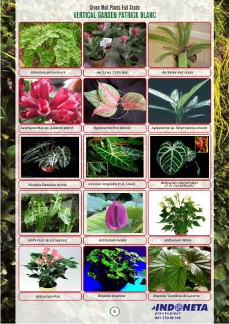 Ophiopogon Jaburan Green