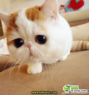 foto kucing terlucu di dunia - gambar hewan - foto kucing terlucu di dunia
