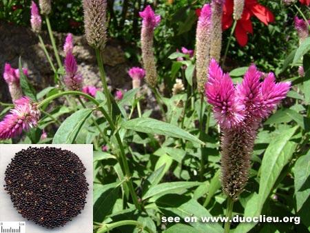 Celosia seed (Qingxiangzi)