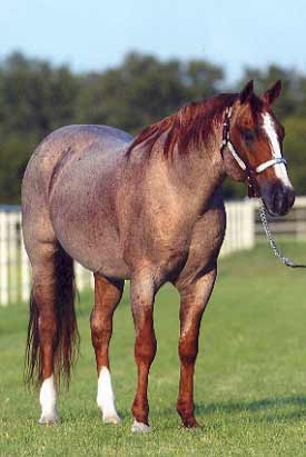Arabian Horse Obsession!: Arabian Coat Colors - photo#19