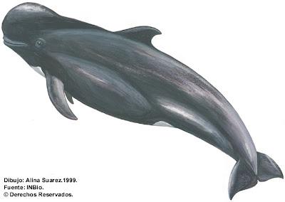 ballena piloto de aleta corta Globicephala macrorhynchus
