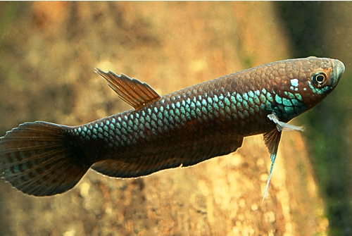 Mon aquarium Betta-unimaculata-Mahakam-young-male