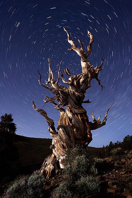 عينات '' لاقدم شجرة'' في العالم بالصور 8_bristlecone