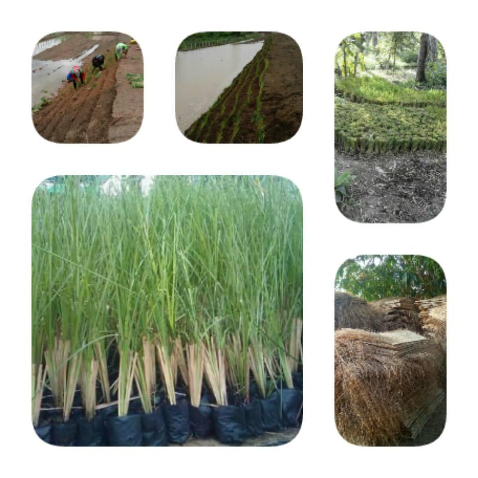 ขายพันธุ์หญ้าแฝกจำนวนมากราคาถูก จัดส่งฟรี โทร.0981979498(วิชัย)