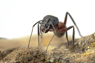 Para ampliar Camponotus cruentatus hacer clic