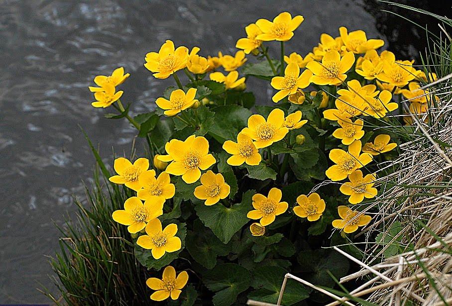 external image Buttercup%2BRanunculus%2Bpygmaeus.jpg