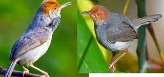 Ciri-Ciri Umum Burung Prenjak Burung prenjak umumnya berukuran kecil dan berekor panjang. Burung prenjak panjang tubuh, di ukur dari ujung paruh hingga ujian ekor, kebanyakan anatara 10-14 cm, meski ada yang lebih dari 25 cm. Kebanyakan berwarna kekuningan, hijau zaitun, atau kecoklatan di punggung, dengan warna keputiha atau kekuningan di perut Burung ini besuara nyaring dan resik, prenjak sering berbunyi tiba-tiba dan berisik. Beberapa jenis bunyi keras untuk menandai kehadirannya, sambil bertengger pada ujung tonggak, ujung ranting, tiang. kawat listrik atau tempat-tempat menonjol lannya.   CIRI-CIRI PRENJAK KEPALA MERAH JANTAN Pada prenjak kepala merah jantan, terdapat dua buah bulu di bagian ekor yang lebih panjang daripada prenjak kepala merah betina. Pada bagian dada, prenjak kepala merah jantan memiliki bulu yang berwarna agak gelap atau kehitaman. Pada bagian kepala, bulunya lebih berwarna merah menyala dan tegas. Ciri ini biasanya digunakan saat prenjak kepala merah masih anakan/bakalan. Bentuk ekor prenjak kepala merah jantan lebih mengembang dan membulat. Untuk masalah ocehan/kicauannya, prenjak kepala merah jantan lebih variatif dan tidak monoton.   CIRI-CIRI PRENJAK KEPALA MERAH BETINA Pada bagian ekor, 2 buah bulu prenjak kepala merah betina lebih pendek dari yang jantan. Bulu pada bagian dada berwarna lebih terang daripada prenjak kepala merah jantan.  Saat masih bakalan atau anakan, prenjak kepala merah betina memilili warna bulu yang berwarna merah namun agak kabur/tidak tegas jika dibandingkan dengan yang jantan. Pada bagian ekor, prenjak kepala merah betina memiliki bentuk ekor yang lebih menguncup dan lancip. Tidak seperti jantan yang lebih mengembang dan membulat. Kicauannya monoton dan tidak variatif.
