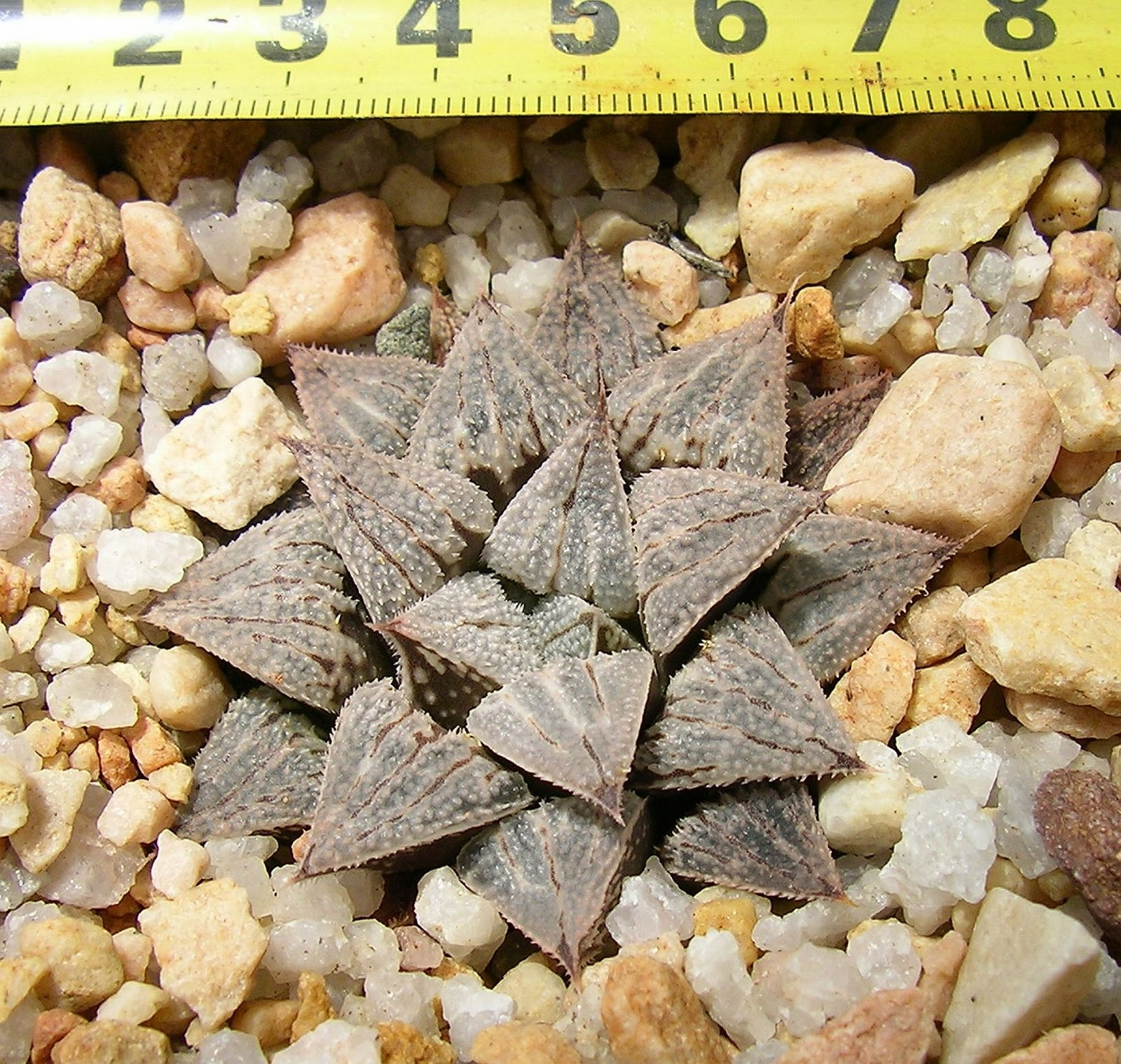 Haworthia wimii x 'Tiffany'