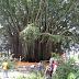 Pohon Beringin Raksasa Kantor Gubernur Papua Ditebang