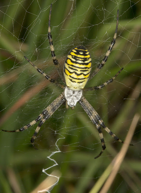 Wasp Spider, Argiope bruennichi.  Ashdown Forest, 17 August 2012.