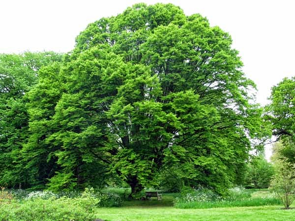mon arbre le de vivre le douaire tout savoir sur le charme charmille carpinus betulus. Black Bedroom Furniture Sets. Home Design Ideas