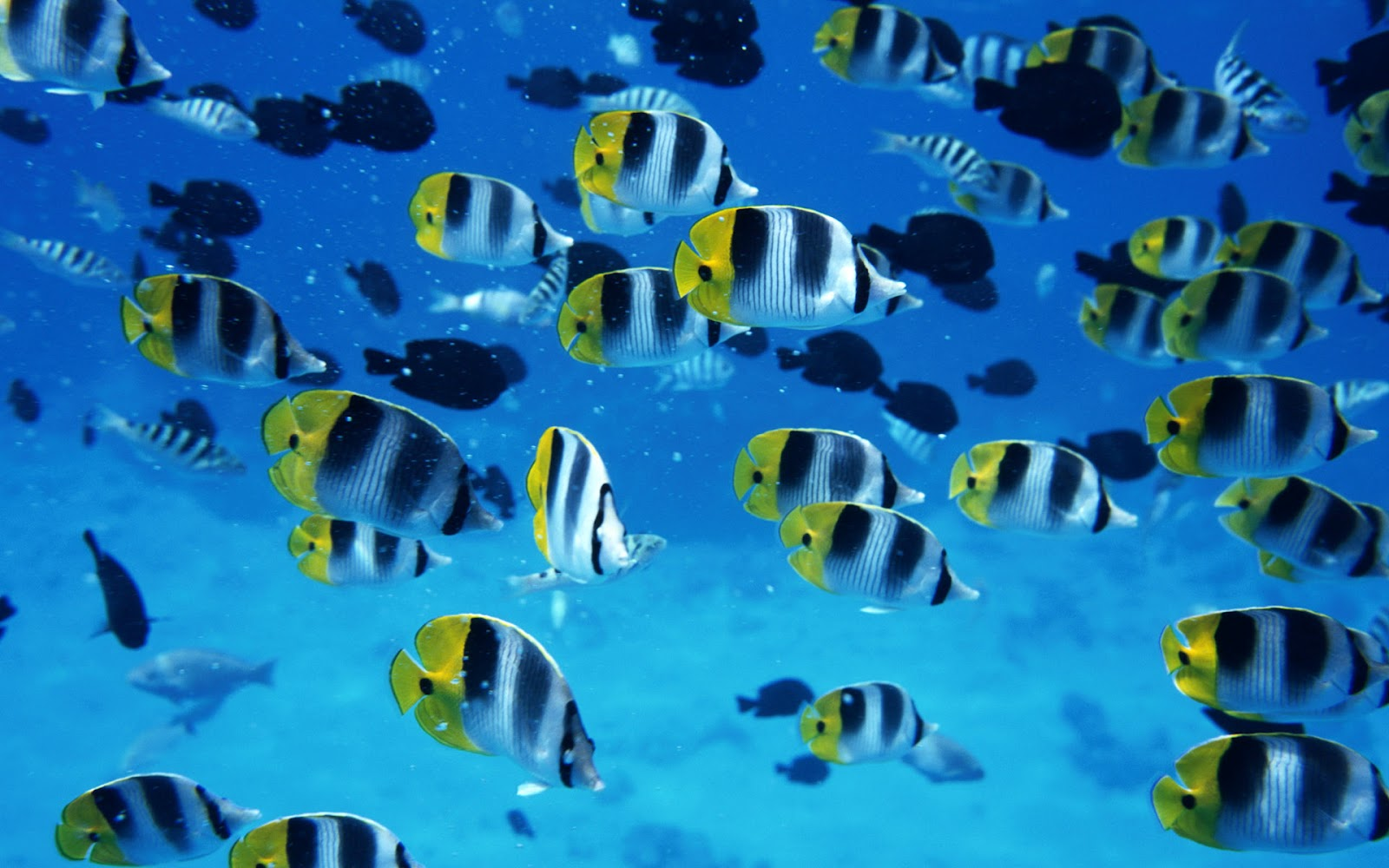 Wallpaper backgrounds l desktop wallpapers l download for Fish in sea