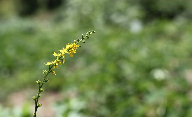 Agrimony Flowers Pictures