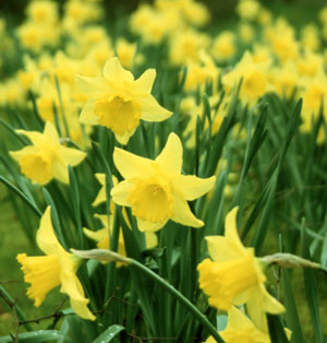 to daffodils by robert herrick Daffodils by william wordsworth prev article next article throughout daffodils ( or 'i wandered lonely as a cloud' as some people refer the poem to), the tranquil tone and peaceful imagery along with the steady flow of rhymes implies the joyful yet peaceful feeling of being on this cloud.