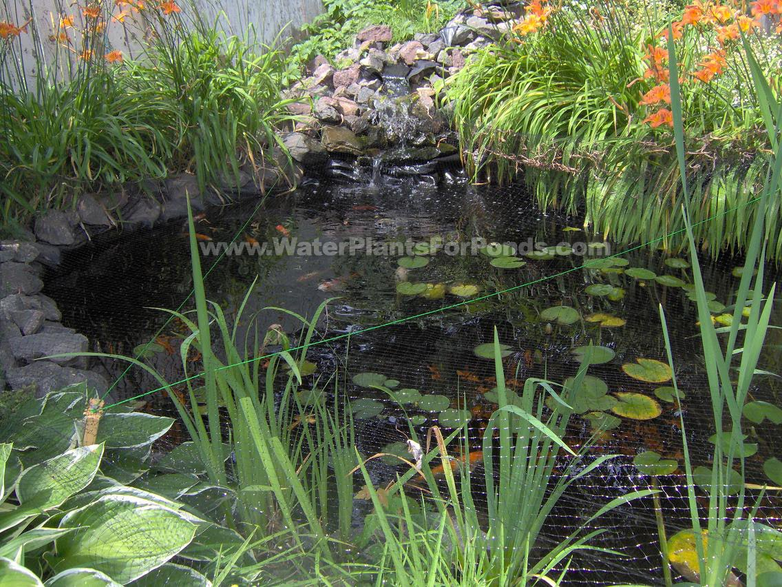 How to calculate water volume in goldfish pond pond for Koi pond size