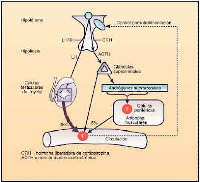 Circuito de regulación de la testosterona