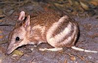 Australian bandicoot (mammal)