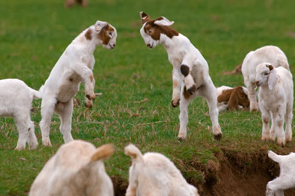 cute funny animalz funny cute and baby goats pictures and wallpapers