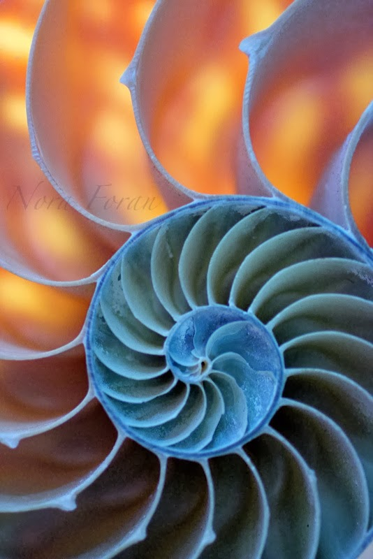 Colorful and Bold Nautilus Shell Photography