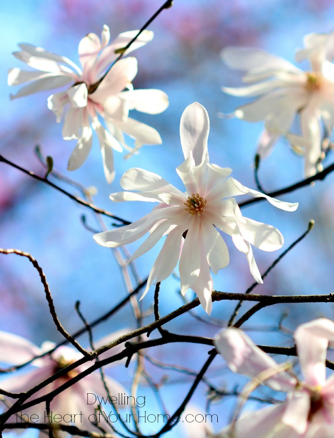 Beautiful Magnolia Blooms