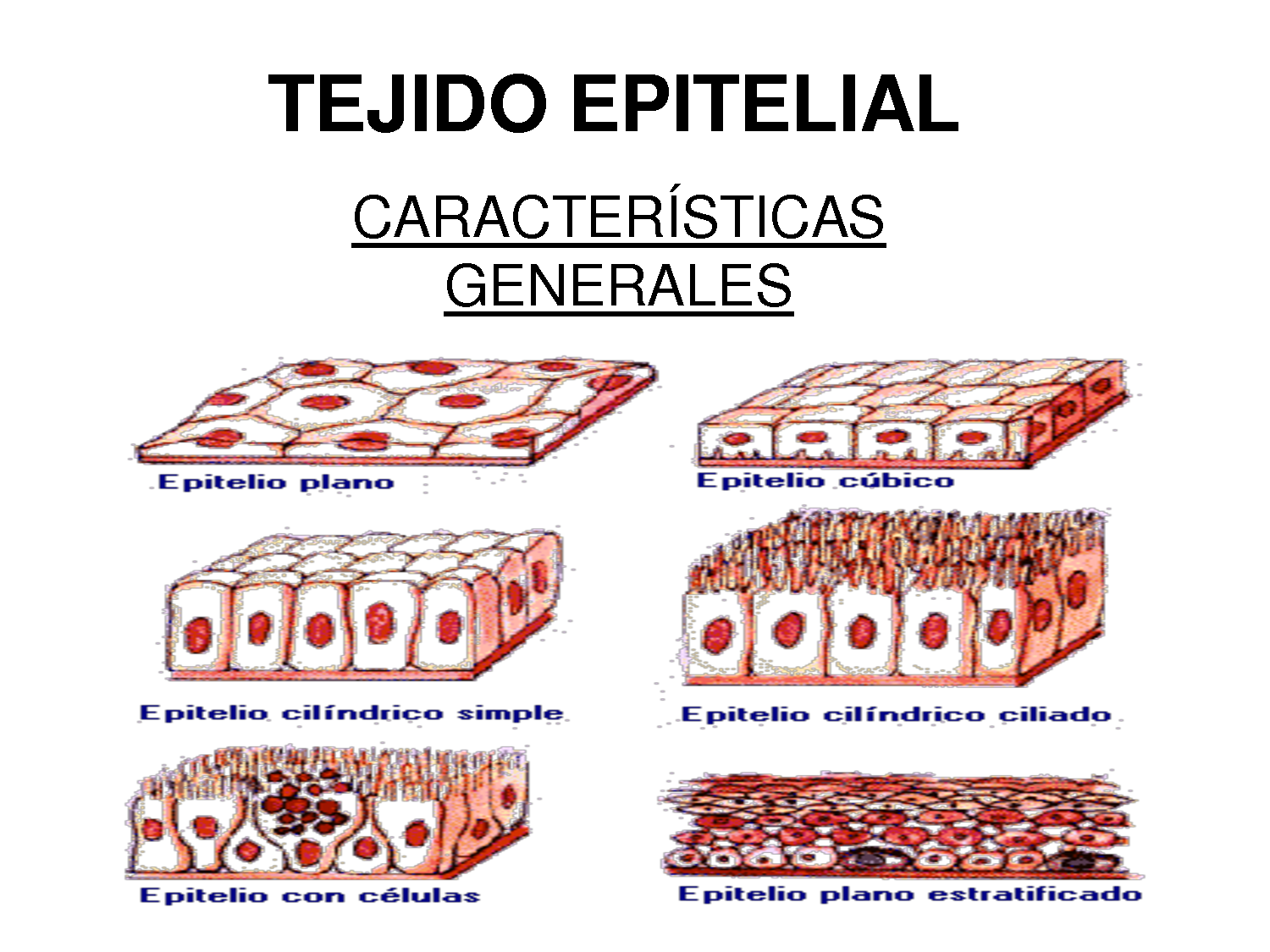Tejido Epitelial - YouTube