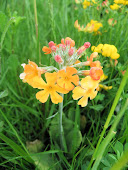 Yellow Candelarba Primula Rainbows