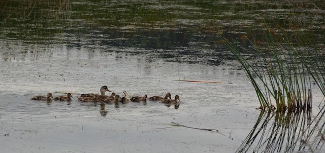 Ducks Alaska