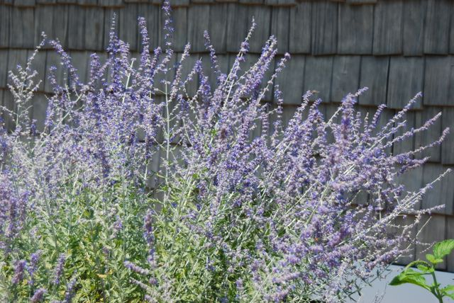 I loved seeing the color echo of the Russian sage (Perovskia atriplicifolia) beside this gray/blue cedar shakes on this building.