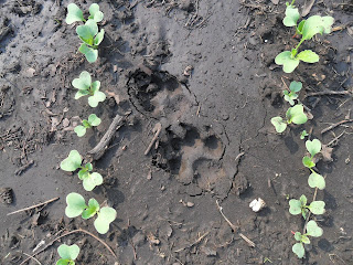 Собачьи следы на грядке