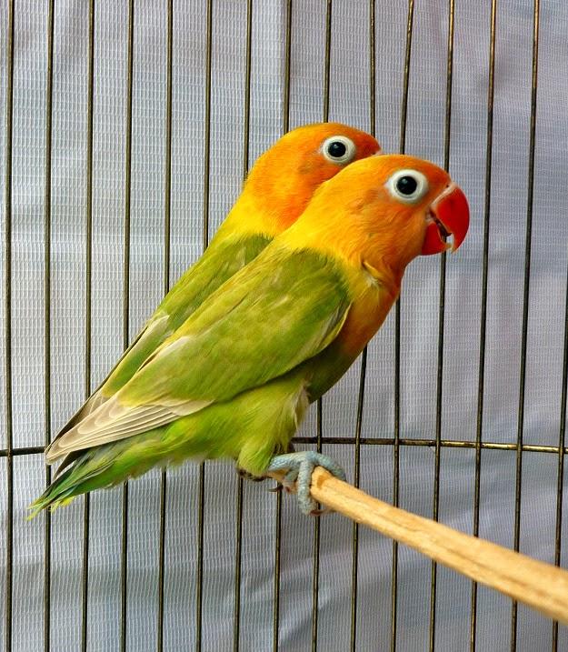 Gambar Cara Merawat Burung Lovebird Kepala