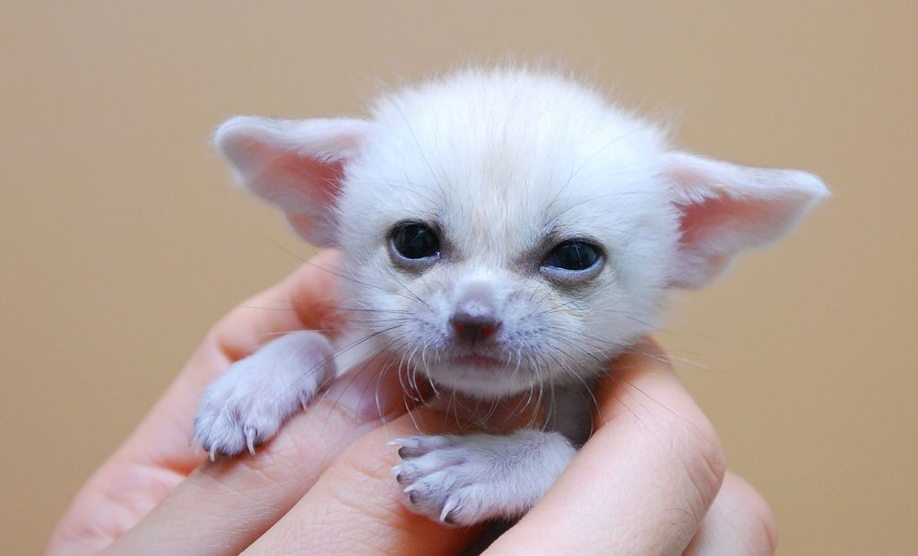 24. Fennec fox