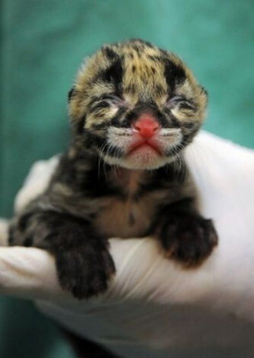Chattanooga Zoo's New Baby Snow Leopard Cub. - #38312 - NOTCOT.ORG
