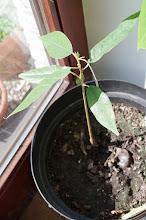 Durian - vom Kern zur Pflanze