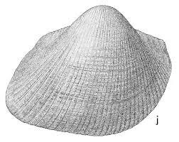Cucullaea