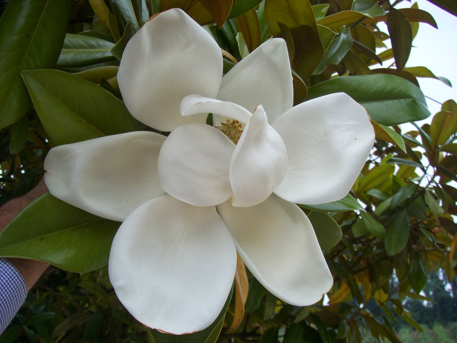Alfazemas - Magnolia grandiflora cuidados ...