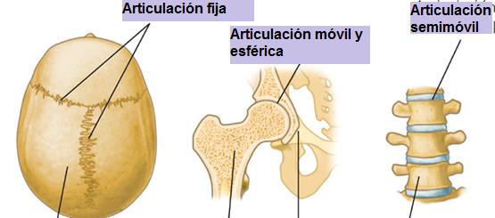 El rincón de la pecosa: ARTICULACIÓN, CARTÍLAGO, TENDÓN Y LIGAMENTO