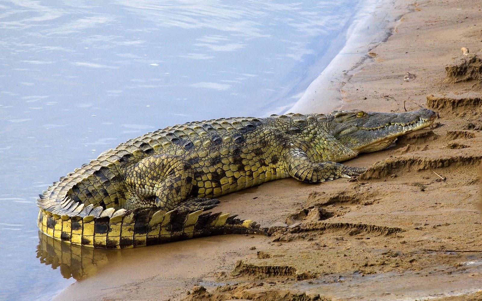 Nile Crocodile WildLife: African Nile...