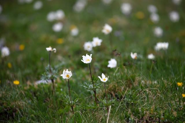 Anemone sylvestris snowdrop anemone