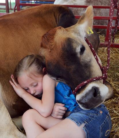Cow cuddles a girl