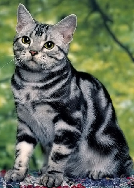 Top 5 Healthiest Cat Breeds