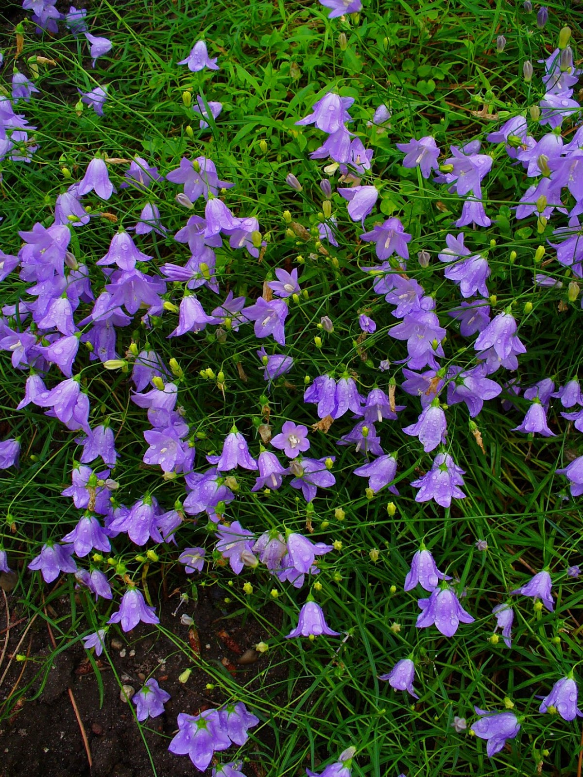 Campanula Rotundifolia Leaf Plant World: Campanula...